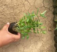工程苗木批发千屈菜供应 水生植物千屈菜常年供应 夏杰花卉 无中间商