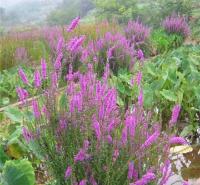 千屈菜常年供应 千屈菜大量出售 夏杰花卉 基地种植
