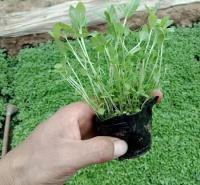 盆栽易成活千屈菜苗 千屈菜水生植物基地 夏杰花卉 基地种植