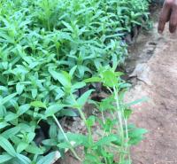 千屈菜营养钵苗 水生植物千屈菜常年供应 夏杰花卉 绿化花木