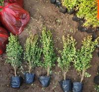 远创种植地栽瓜子黄杨 地栽瓜子黄杨批发 苗圃直供