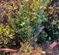 中嘉种植基地卫矛苗种植 卫矛苗苗圃出售