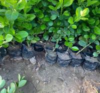 绿化用的卫矛苗 青州花卉绿化用的卫矛苗种植 绿化植被