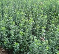 批发大叶黄杨 易成活 山东绿化树苗 灌木大叶黄杨