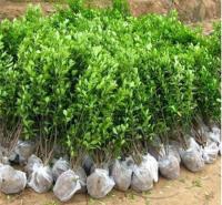 大叶黄杨地栽苗 根系多 山东绿化树苗 销售大叶黄杨