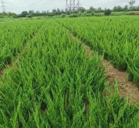 山东绿化苗木 出售小龙柏 小龙柏批发商 基地供应