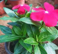 吉林长春花 花坛花卉 长春花小苗价格