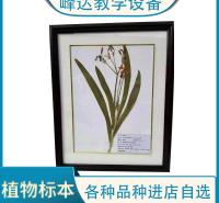 峰达厂家专业加工 标本厂家  蜡叶标本 保色中药材标本 植物标本  可以现场加工标本  需要联系