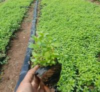 麦田  千屈菜报价  多生长于河岸,湖畔等潮湿草地