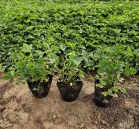 蛇莓种植 青州蛇莓种苗 基地供应蛇莓种苗