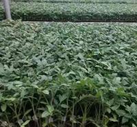 永顺生产茄子育苗基质 茄子育苗基质批发 量大价优