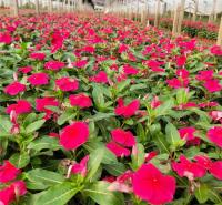 长春花杯苗 多年生草本植物 山东天天开种植基地