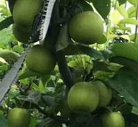 新鲜翠冠梨水果特产农家直供