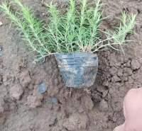 丛生福禄考  芝樱供应 市场供应 优质供应 品质