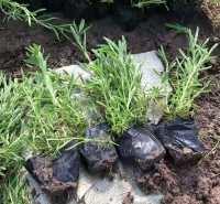 丛生福禄考  芝樱供应 市场供应 优质供应 批发价格