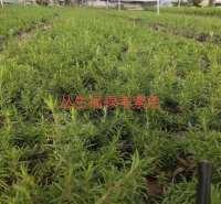 丛生福禄考  芝樱供应 市场供应 优质供应 可靠