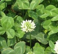 白车轴草 价格从优 山东花卉 白三叶种子价格