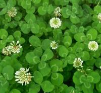 青州花卉白三叶种子价格 白三叶 多年生草本