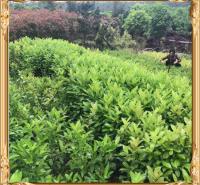 旭腾  冬青苗价格  可应用于公园、庭园、绿墙和高速公路