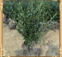 旭腾  栽植北海道黄杨  可应用于公园、庭园、绿墙和高速公路