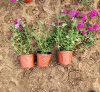园林植物美女樱 基地直销 山东草花基地 美女樱供应商