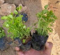 山东种植基地白车轴草供应 车轴草 绿化植被