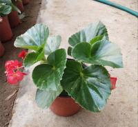 肉质盆栽花卉 基地种植 天卓花卉 四季海棠供货商