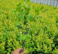 山东金叶女贞基地  山东金森女贞  可应用于草坪、花坛和广场绿化