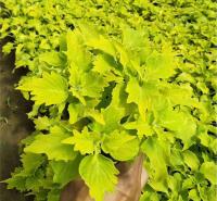 双色盆彩叶草 观赏价值高 中嘉种植基地彩叶草出售