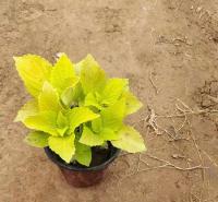 彩叶草盆栽 品种优良 宿根草花花卉彩叶草供应