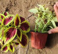 宿根草花花卉草花苗木批发 多色彩叶草苗 植物景观营造