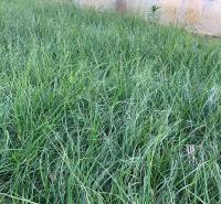 山东矮蒲苇报价 水生植物蒲苇 多年生草本植物