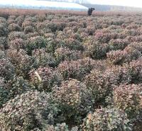 冬红卫茅绿化苗供应商 德聚仁和冬红卫茅绿化苗 量大价优
