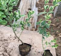 冬红卫茅小苗种植基地 基地直发冬红卫茅小苗 易栽培
