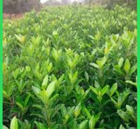 庭园绿植冬青  冬青球报价  可应用于绿化园林场地