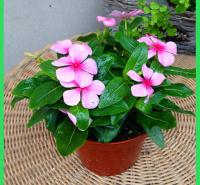 绿化苗木出售天天开  长春花基地  常年有花
