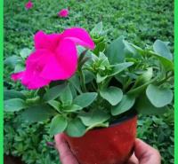 苗木花卉矮牵牛批发  室内观赏盆栽矮牵牛 生长旺盛