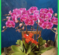 出售优质蝴蝶兰  蝴蝶兰价格  花朵数多观赏性好