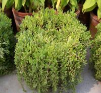 垂盆草 花园绿化垂盆草种植基地 全国配送