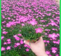 优质地被石竹  青州花卉基地    欧石竹