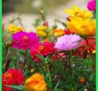 出售优质半枝莲  批发太阳花  坡地路边美化小苗
