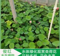 盆栽荷花苗价格  荷花价格  绿化造景花卉