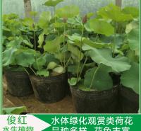 工地绿化适用荷花苗  盆栽荷花苗价格  可池塘片植和居室盆栽