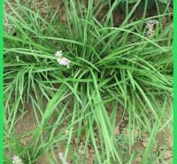 金边银边麦冬出售   绿化工程用苗  顺阳麦冬报价
