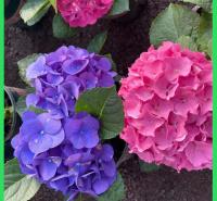 苗木花卉绣球花出售  蓝边八仙花绣球  花型丰满