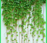 绿化用五叶地锦  爬墙虎  净化空气
