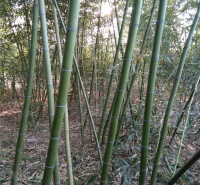 绿化竹子出售 刚竹供应商 银环竹基地 全国配送