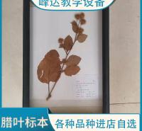 峰达公司  专业加工标本 腊叶标本 黄杨植物腊叶标本 植物教学标本 花植物标本 厂家定制