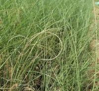 细叶芒 水生植物工程苗批发 黑皮桶细叶芒供应