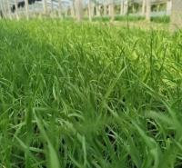 遍地小兔子狼尾草 网红丛生观赏草 多年生狼尾草价格